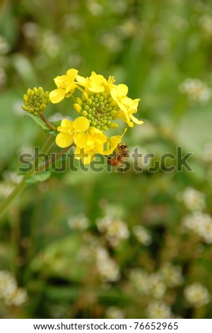 A bee on rapeseed flower - stock photo