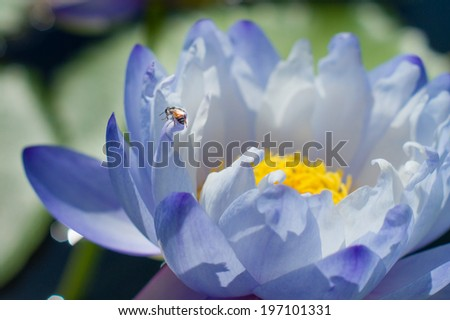 A bee on the blue lotus  - stock photo