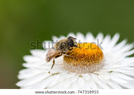 A bee on the flower of the immortal