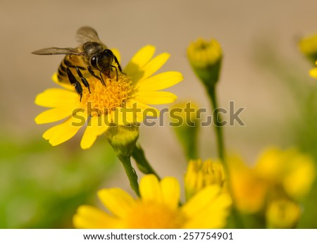 A bee on yellow daisy flower, macro. - stock photo