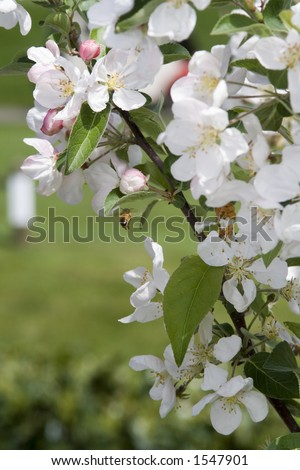 A bee pollinates a crab apple tree. - stock photo