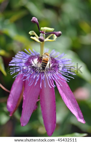 a bee pollinates on a beautiful purple flower - stock photo