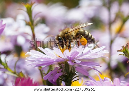 A bee pollinating a flower purple. - stock photo