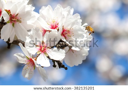 A Bee Pollinating Almond Blossoms in Northern California Orchard - stock photo