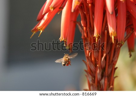 A bee pollinating an aloe Vera flower - stock photo