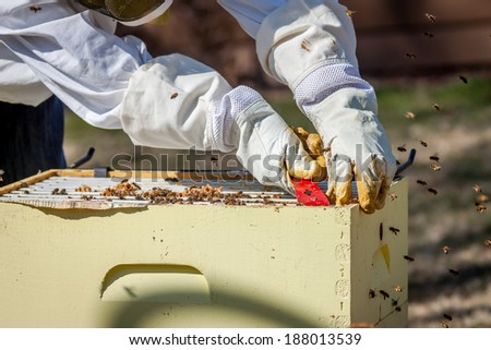 A beekeeper moves frames around inside the bee box - stock photo