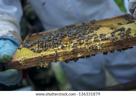 A beekeeper or apiarist checking the beehive