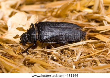 A beetle in straw - stock photo
