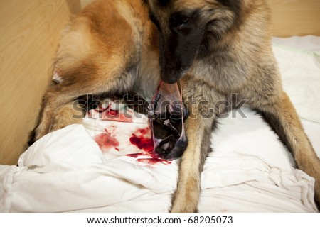a Belgian Shepherd bitch helping her newborn puppy to get out of the amnion - stock photo