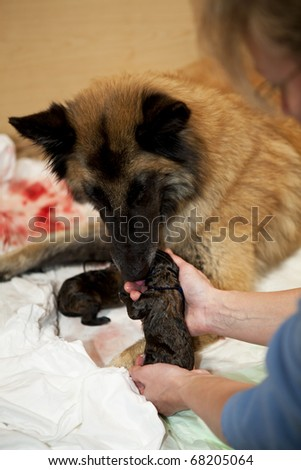 a Belgian Shepherd bitch taking care of her newborn puppy with the female breeder giving a helping hand