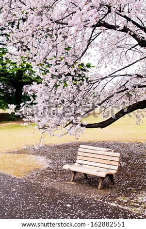 A bench under cherry blossoms - stock photo