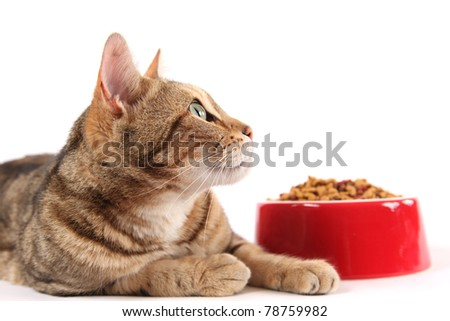 A bengal cat looks up into the copy space above a bowl of dry cat food. - stock photo