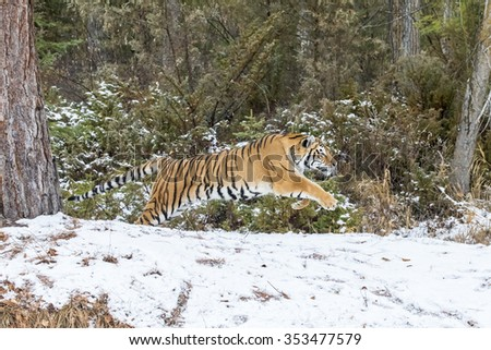 A Bengal Tiger in a snowy Forest hunting for prey. - stock photo