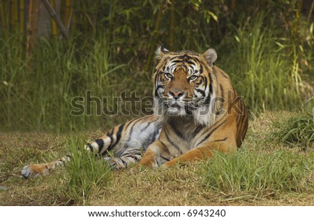 A bengal tiger is lying on the grass in front of bamboo growth looking straight at the viewer.