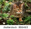 A Bengali special breed kitten about to pounce in a flowerbed. - stock photo