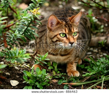 A Bengali special breed kitten about to pounce in a flowerbed.