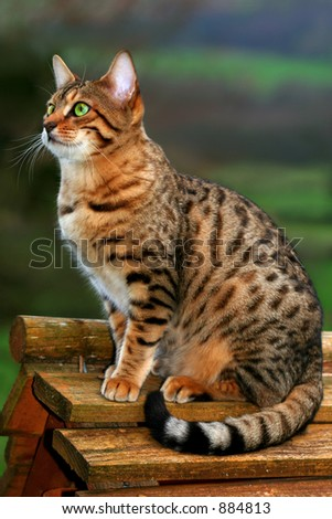 A Bengali special breed kitten sitting on top of a bird box. - stock photo