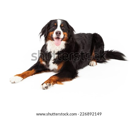A Bernese Mountain Dog laying at an angle while looking directly into the camera.  - stock photo
