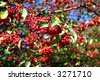 A berry tree at the Boston Public Garden during summer - stock photo