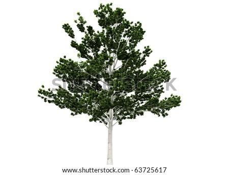 a betula tree isolated on white - stock photo