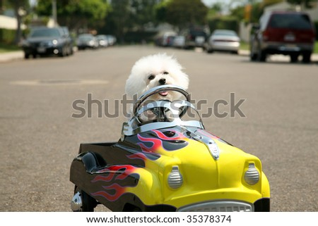 a Bichon Frise Dog in her Pedal Car - stock photo