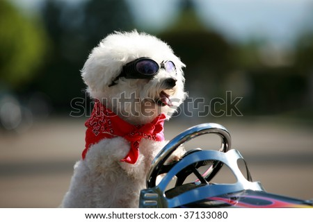 a bichon frise dog wears her red bandana and goggles as she drives her hot rod pedal car around town - stock photo
