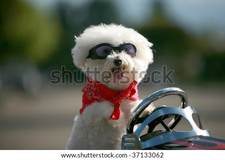 a bichon frise dog wears her red bandana as she drives her hot rod pedal car around town - stock photo