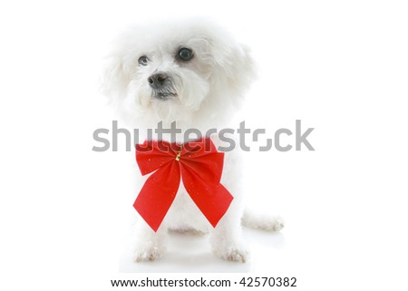 a bichon frise wears a red bow for christmas or valenties day a birthday and more, isolated on white - stock photo