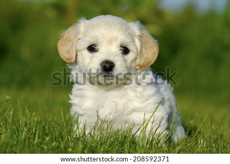 A Bichon Havanais puppy resting in the sun - stock photo