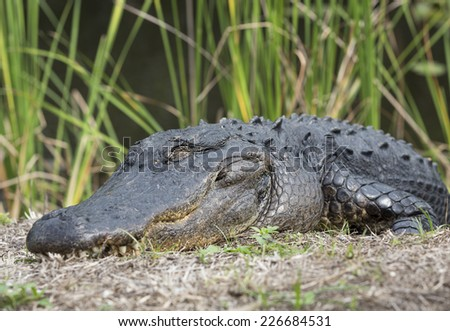 A big alligator close-up, Everglades National Park, Florida, USA - stock photo