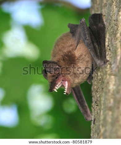 A Big Brown Bat (Eptesicus fuscus) on a woodland maple tree showing off his very impressive teeth. - stock photo