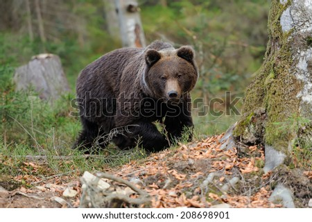 A big brown bear in the forest