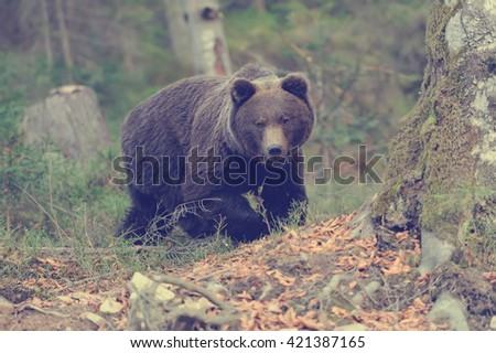 A big brown bear in the forest - stock photo