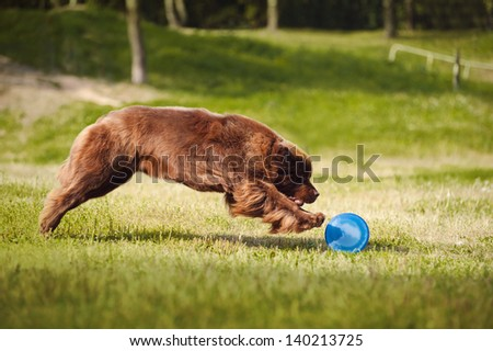 a big brown Newfoundland dog catching the Frisbee Disc - stock photo