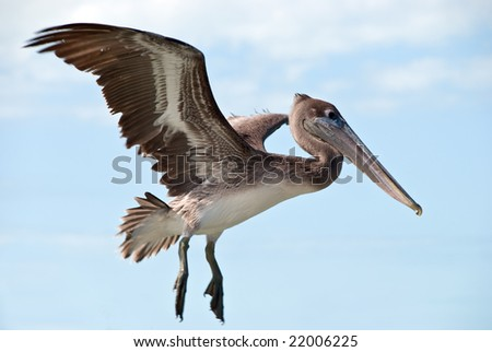 a big brown pelican flying - stock photo