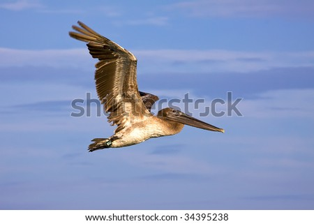 a big brown pelican flying over blue sky - stock photo