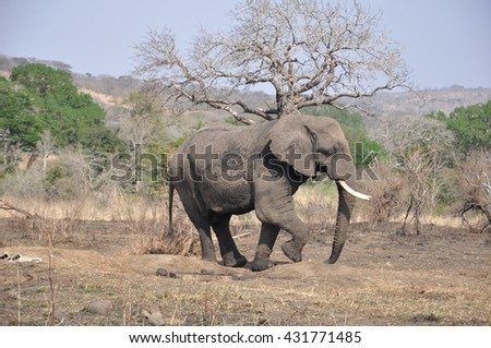 A big bull elephant at the Hluhluwe and Imfolozi national parks, South Africa - stock photo