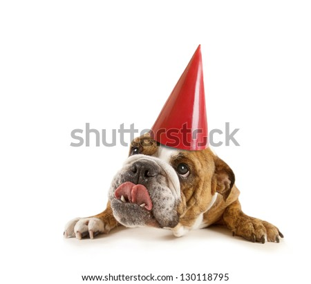 a big bulldog with a birthday hat on - stock photo