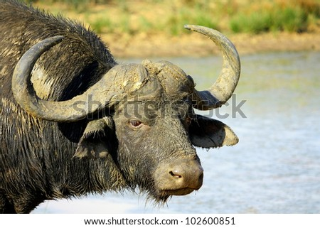 A big Cape buffalo in this portrait. Taken at a waterhole in Pumba game reserve,eastern cape,south africa - stock photo