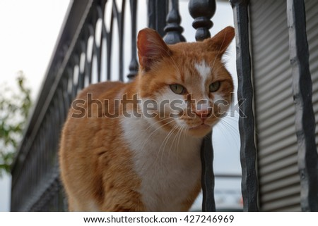 A big cat is looking at balcony