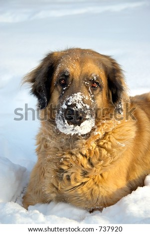 A big dog  playing in the snow - stock photo