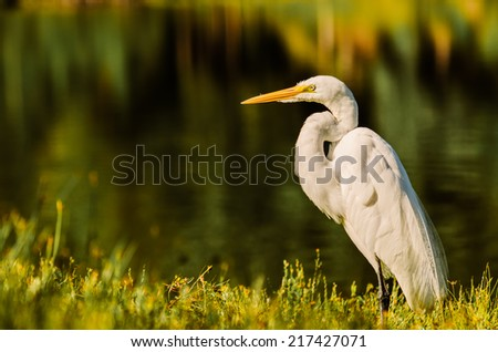 A Big Egret land and stares right at photographer! - stock photo