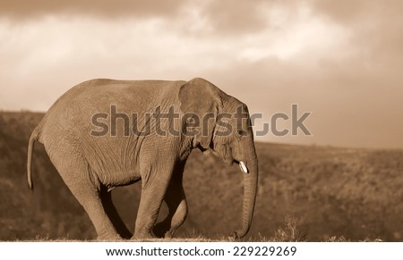 A big elephant bull in sepia tone - stock photo