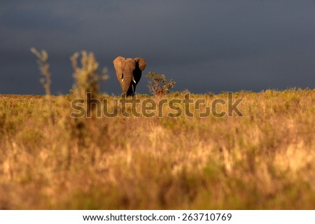A big elephant bull walks through an open grassland in this image taken in golden light before a storm. unfocused - stock photo
