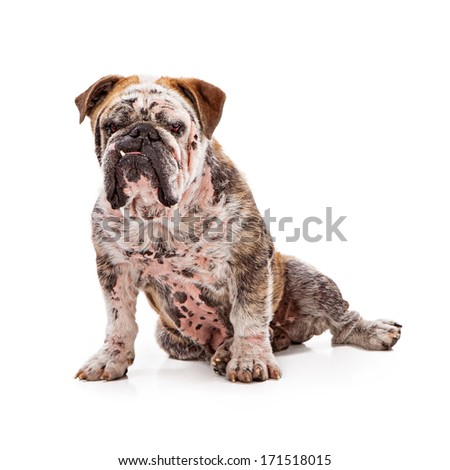 A big English Bulldog with a mean look on his face and one tooth sticking out sitting against a white background - stock photo