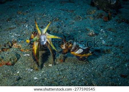 A big female flamboyant cuttlefish spread wide open the tentacles to signal the small male that she is ready to mate. Mating flamboyant cuttlefish.