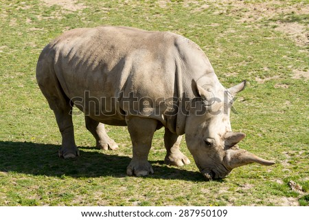 A big female white rhino  - stock photo