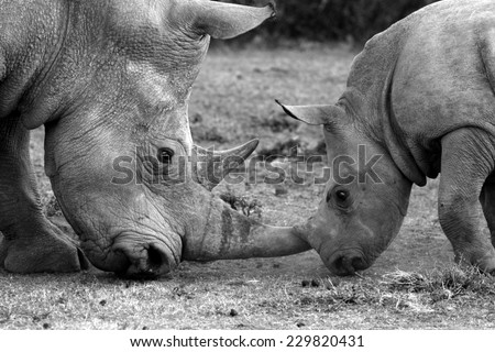 A big female white rhino / rhinoceros and her baby calf, together in this nurturing, teaching photo taken in South Africa. - stock photo