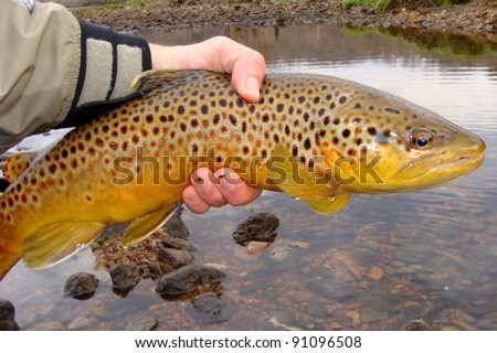 A big fish, Brown Trout, caught fly fishing and about to be released into the river - stock photo