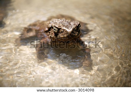 A big frog in stream of water. - stock photo